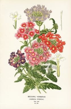 Vintage lithographs India, Buy Vintage botanical Prints India, Antique original Botanical prints India, Buy online lithographs India